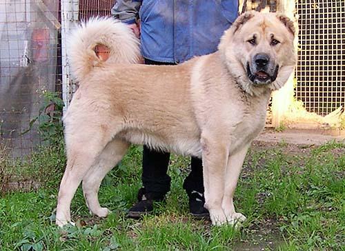 Пастушьи собаки Грузии - Страница 3 Dato4251